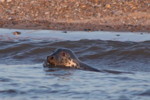 Common Seal at Morston