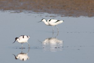 Avocets feeding on the Cley Salt Marshes