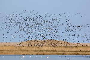 Brent Geese - just disturbed by a Marsh Harrier