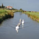 Feeding the Swans at Salthouse